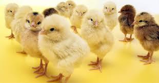 Kupić Pisklęta gęsie, kacze oraz kurze