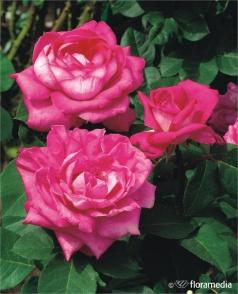 Kupić Róże, sadzonki krzaków róż