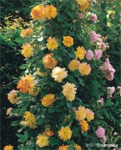 Kupić Róże pnące, sadzonki róży piennej w odmianach