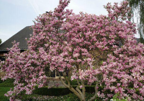 Kupić Magnolia Susan