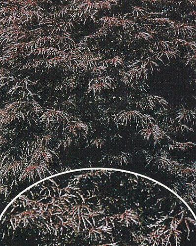 Kupić Klon palmowy Inaba-shidare