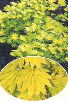 Kupić Klon palmowy Shirasawanum (Aureum)