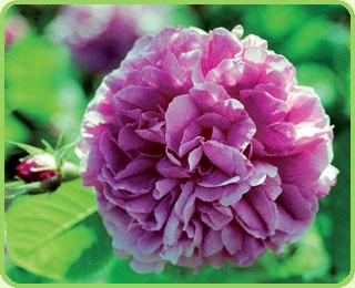 Kupić Konfitiura z płatków róż z Doliny Róż