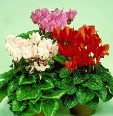 Kupić Kwiaty doniczkowe