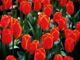 Kupić Tulipany