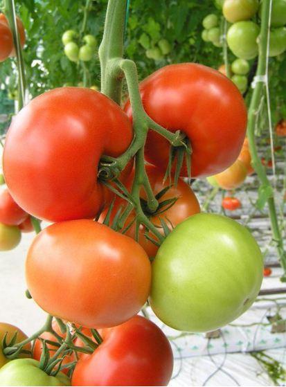 Kupię Pomidory odmiany GRACE