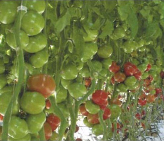 Kupić Pomidor odmiany GROUDENA