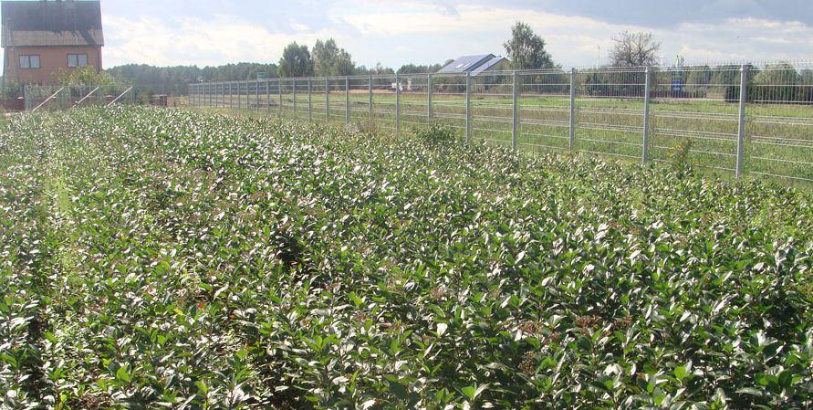 Kupić Aronia czarnoowocowa, sadzonki drzewek i krzewów