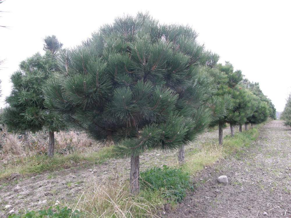 Kupić Pinus nigra