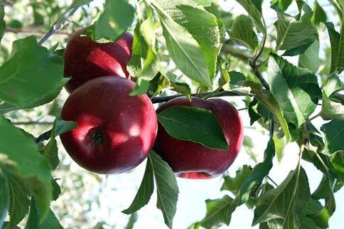 Kupić Odmiany jabłek- Celeste, Delikates, Gala, Gloster, Golden Delicious, Idared, Jonagored + sporty, Kortland, Ligol, Lobo, Mutsu, Paulared, Piros, Ŝampion