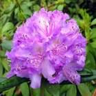 Rododendron wielkokwiatowy Alfred