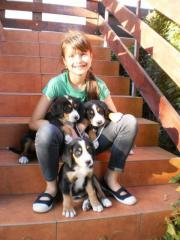 Dogs Swiss Mountain and Cattle (Mountain Dog)