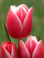 Cebule kwiatowe. Cebulki tulipanów.