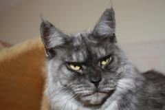 Koty rasowe Maine Coon Lapicoon*Pl