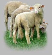 Owce i jagnięta