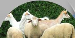 Barany, owce i jagnięta