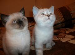Shorthair english cats