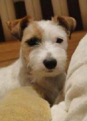 Psy rasy Jack Russel Terrier - waleczne i