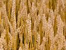 Uprawy pszenicy