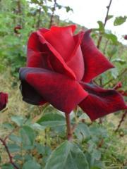 Róże ogrodowe. Duży wybór odmian i barw kwiatów
