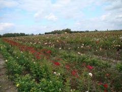 Róże gruntowe.. Krzewy róż