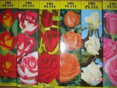 Rose rootstocks