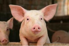 Pork meat smoked