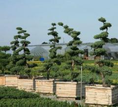 Krzewy ozdobne - drzewka Bonsai