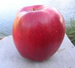 Świeże jabłka najwyższej jakości. Wiele odmian