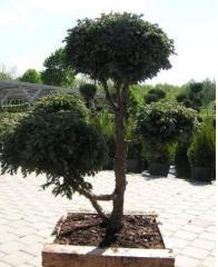 Bonsai: bonsai liściaste i bonsai iglaste od