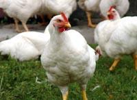 Pasze dla kurcząt-brojlerów - Program żywienia kurcząt brojlerów ALFA N
