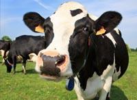 Mieszanka paszowa Opas dla bydła