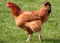 Program żywienia kurcząt hodowlanych i kur linii