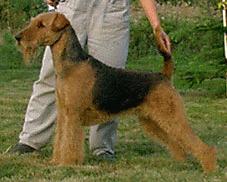 Suki Airedale Terrier