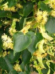 Decorative lime tree