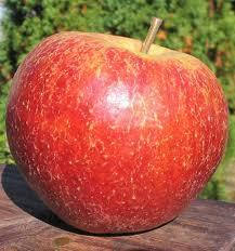 Doskonałej jakości jabłka w odmianie Jonagored.