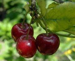 Wiśnie- dostępne czerwiec/lipiec