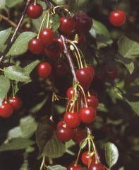Sadzonki wiśni Łutówka