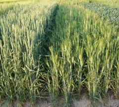 Nasiona pszenicy jarej Werbena