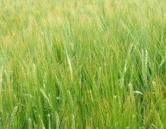 Nasiona jęczmienia jarego - odmiana Prybina