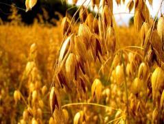 Nasiona - owies