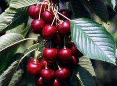 Sadzonki czereśni - odmiana Kordia