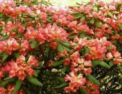 Rośliny wrzosowate: rododendrony, azalie i inne.