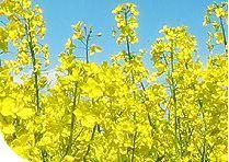 Oil-bearing crops