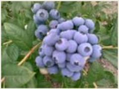 Ręcznie zbierane owoce borówki amerykańskiej.