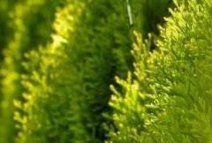 Jednoroczne sadzonki drzew iglastych