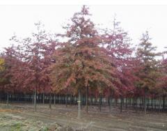 Sadzonki - Drzewa liściaste ozdobne