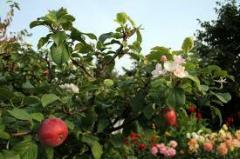 Sadzonki jabłoni w pojemnikach