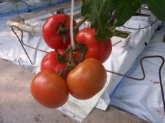 Pomidory świeże, smaczne warzywa, bogate w witaminy.