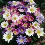 ZAWILEC GRECKI -Anemone blanda